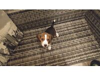 Beautiful Beagle puppy for sale