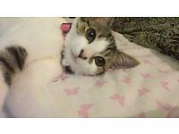 8 month tabby kitten for sale