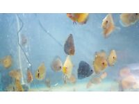 suberb young show discus fish for sale