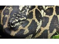 CB2011 Female 75% Jungle Jag Sibling Carpet Python