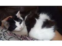Beautiful black and white fluffy boy kitten