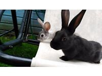 Two healthy ten week old rabbits looking for a loving home