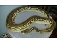 Savannah pewter royal python male