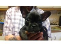 Two French Bulldog Puppies full kc (Male and Female)