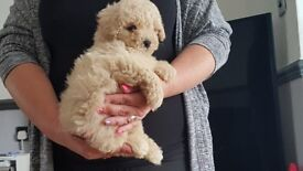 Beutiful F1 poochon puppies READY NOW only 1 boy and 1 girl left