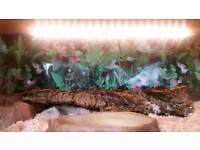 Corn Snakes and Vivarium - FULL SETUP