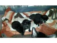 Kittens For Sale - Black and White - Mother and Father present