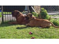 £800 Bullmastiff english x french last one left.. x