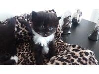 3 x female kittens