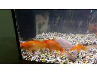 Gold fish for sale