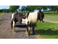 Broodmare lovely 14yrs young mare has been used as broodmare by last owner but brought into riding