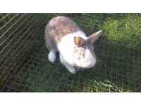 for sale 18 month old neutered dutch rabbit