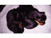 pedigree yorkshire terrier puppies, microchipped, insured, first injection, puppy pack