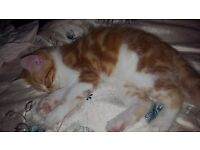 12 week male ginger kitten