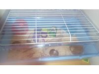 2 girl dwarf hamsters with cage.