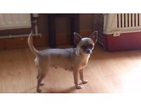 2 year old chihuahua bitch for sale