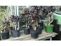 Black plant ...Aeonium Zwartkop