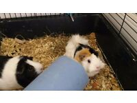 Two sweet female guinea pigs who are placid and healthy