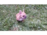 Female French bulldog to rehome