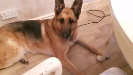 German shepherd needs re homing due to change in family circumstances