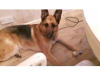 German shepherd needs re homing due to change in family circumstances
