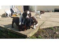 Sproker puppies