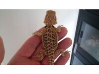 Rare blue X Coral X Baby Bearded Dragons