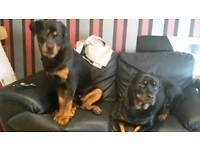 Male Rottweiler for sale ! URGENTLY LOOKING FOR A FOREVER HOME!!!!!!!