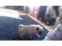 pug chihua for sale