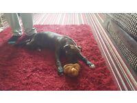 Staffy x american bull dog