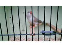 Big zebra finch