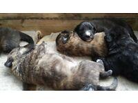 German Shepard Cross puppies
