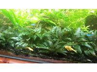 Plants for fish tank: hornwort, hygrophila, crypts, wisteria, java moss, elodea, tall grass