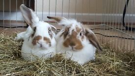 2 year old rabbits for sale (male & female)