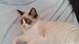 Pedigree Male Bi Colour Ragdoll Kitten