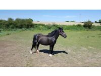 15hh heavyweight mare