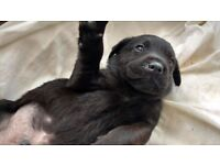 Black KC Labrador puppies