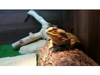 Bearded Dragon and Viv for Sale