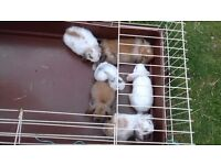 6 baby rabbits for sale .12 weeks old can see if they are girls or boys