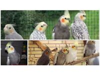 Top Cockatiels And Brand New Cages