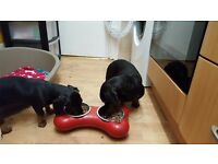 Gorgeous Miniature dachshund puppies