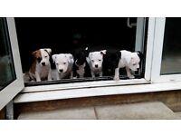 *beautiful little staff puppies*