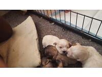 Bichon x shihtzu (shihchons) puppies