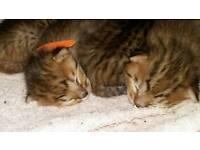 Savannha kittens