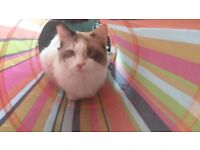 Lottie perfect Ragdoll beginner cat with everything needed