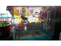 2 birds budgies for sale