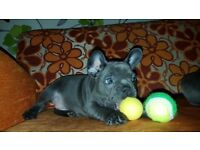 Solid Blue Female KC French Bulldog 10 weeks old