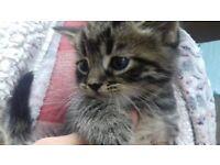 Kittens for sale - Beautiful Tabby Kittens
