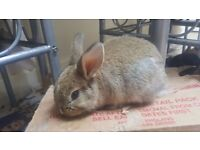 3 male rabbits for sale
