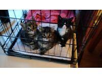 Male Kitten (fluffy tabby), female kitten (tabby) and female kitten black and white
